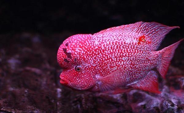 水族箱中的罗汉鱼