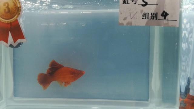为什么观赏鱼颜色越来越浅,染色了吗?