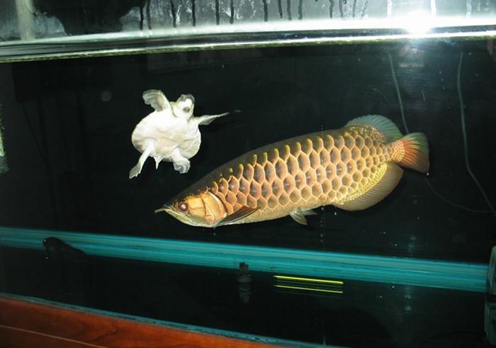 热带鱼之一:龙鱼