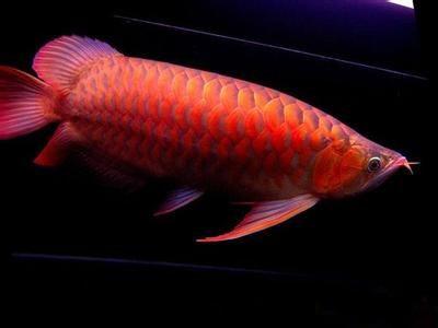 金龙鱼(红龙)