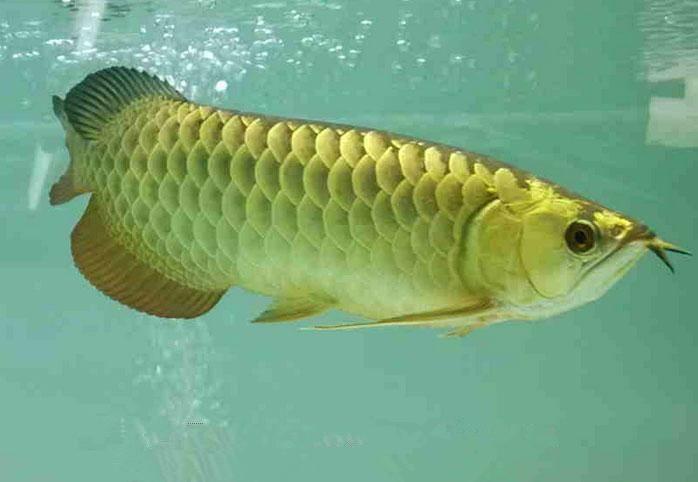 金龙鱼(金头)