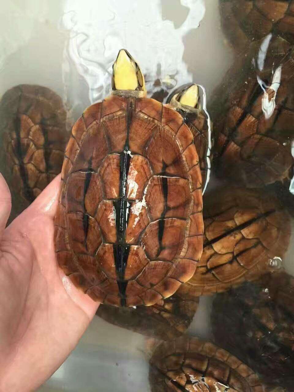 小金龟,宠物龟,观赏龟