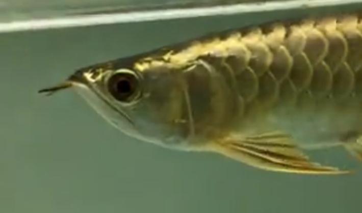 优雅霸气的金龙鱼【实拍】